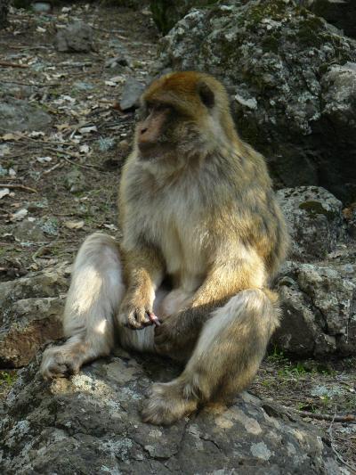 mammiferi del pene