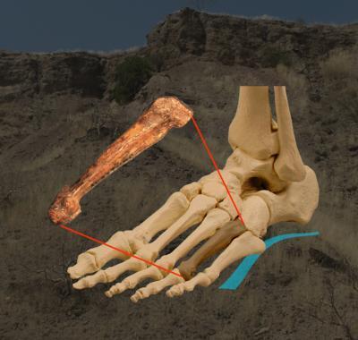 Datazione Lucy fossile