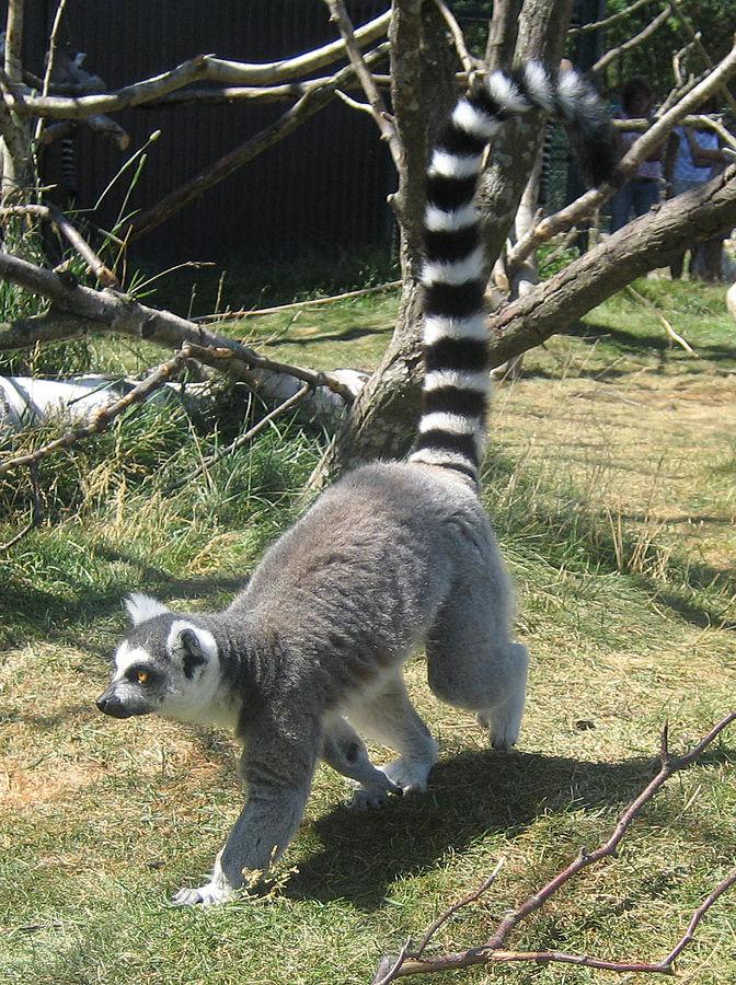 Lemur_walking-2