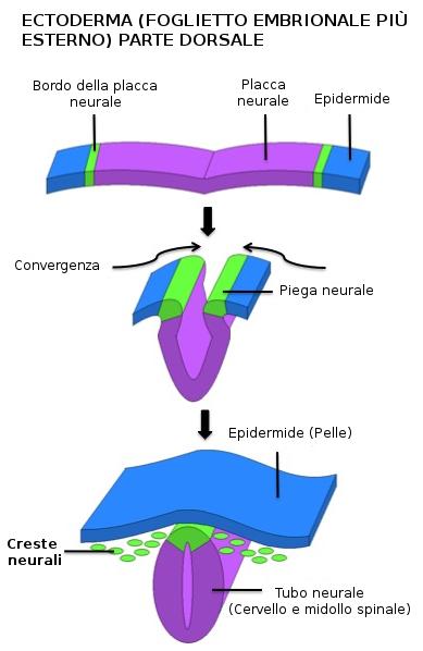 Creste neurali