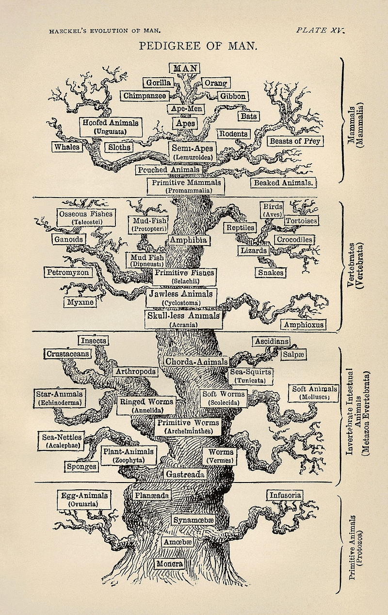 800px-Tree_of_life_by_Haeckel