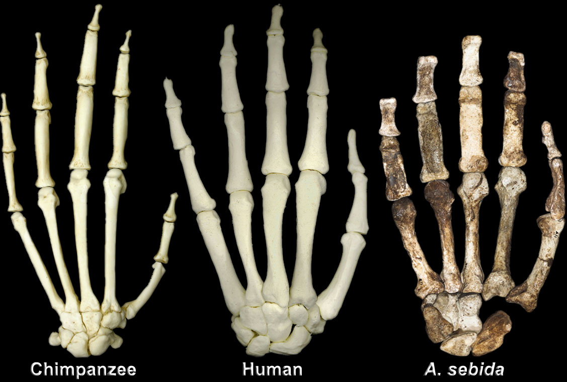 chimp_human_sediba_hands