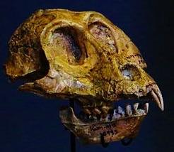 victoriapithecus skull