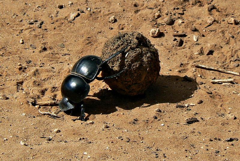 800px-Flightless_Dung_Beetle_Circellium_Bachuss,_Addo_Elephant_National_Park,_South_Africa