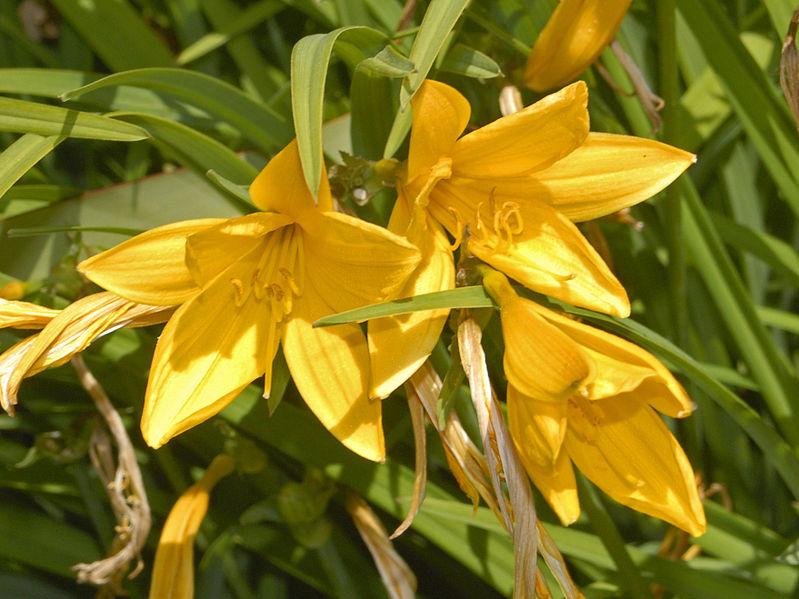 Xanthorrhoeaceae_-_Hemerocallis_citrina