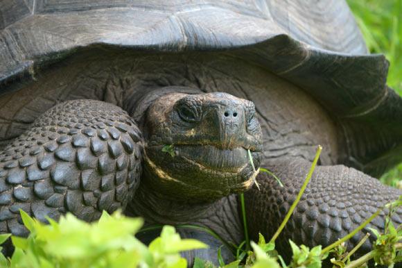 image_3362-Eastern-Santa-Cruz-Tortoise