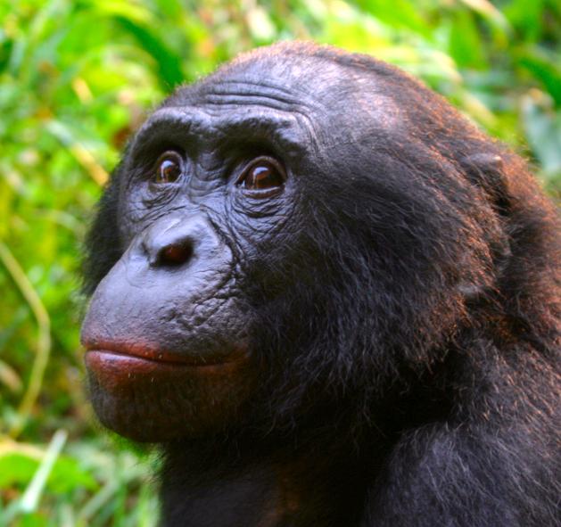 Male_Bonobo_Lola_ya_Bonobo_2008_(cropped)