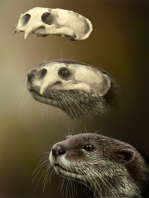 Lontra_fossile_Umbria_(disegno Dawid Iurino)
