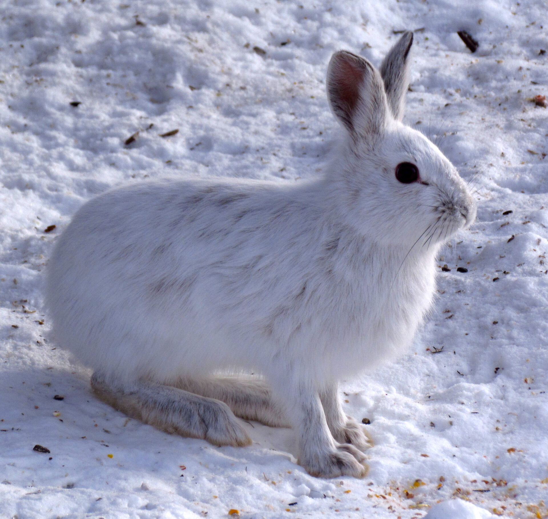 Snowshoehare-wintermood