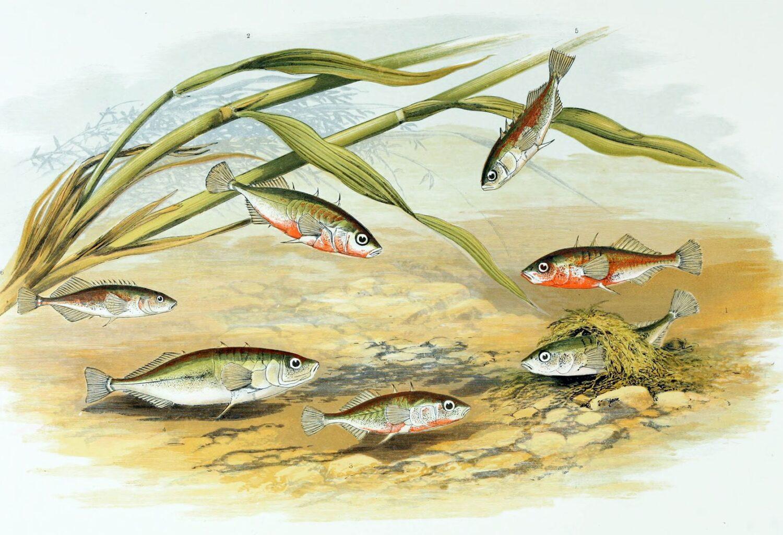 Gasterosteus_aculeatus_1879