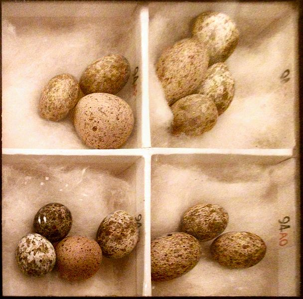 608px-Cuckoo_Eggs_Mimicking_Reed_Warbler_Eggs