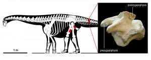 Ricostruzione generalizzata di un titanosauro (copyright, Marco Auditore - 2016) ed indicate, in rosso, la posizione delle ossa rinvenute.