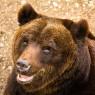 Tassonomia e conservazione: il caso degli orsi bruni