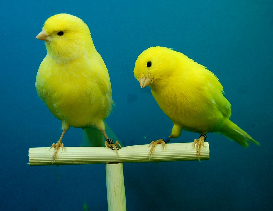 canaries-426273_960_720