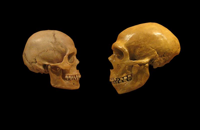 800px-sapiens_neanderthal_comparison_en_blackbackground