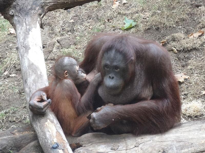 breastfeeding_orangutan_-_barcelona_zoo_2015_-_01