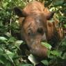 Dal Dna, un'arca di Noè per salvare i rinoceronti del Borneo