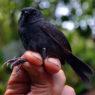 Una nuova specie di uccello dalla Colombia