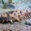Sequenziato il genoma del cetriolo di mare