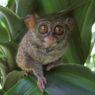Identificate due nuove specie di tarsio in Indonesia