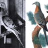 Il ruolo dell'uomo nell'estinzione del piccione migratore