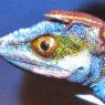 Evoluzione punteggiata per le lucertole centro-americane