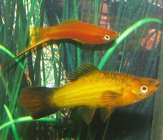 pesce sesso