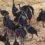 Le società multilivello della faraona vulturina