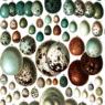 Uova più scure sopportano meglio il freddo