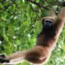 Il più antico gibbone conosciuto