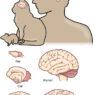 Come cambiano le dimensioni del cervello nei mammiferi?